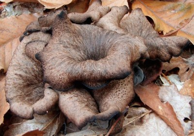 36-trompeta-negra-craterellus-cornucopioides-la-casa-de-las-setas