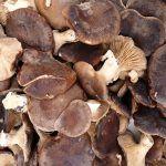 seta de cardo - pleorotus eryngii -setas comestibles - la casa de las setas