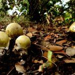 amanita phalloides - cicuta verde - farinera borda - amanita mortal - setas venenosas - la casa de las setas