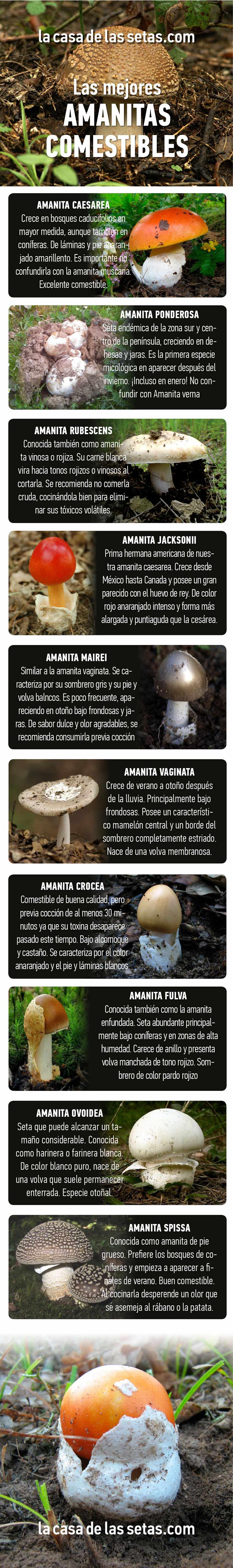fotos de amanitas - amanitas comestibles - la casa de las setas