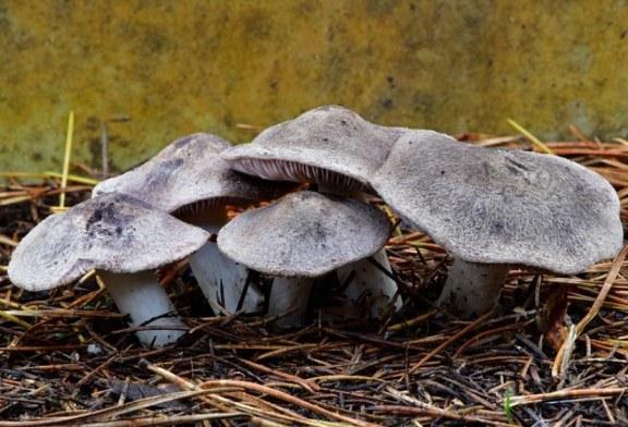 Fredolic, negrilla, ratón… Tricholoma terreum, la seta sin miedo al frio