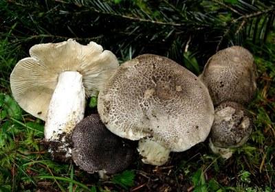 03-tricholoma-pardinum-la-casa-de-las-setas