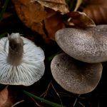 fredolic-tricholoma terreum-negrilla-raton-la casa de las setas