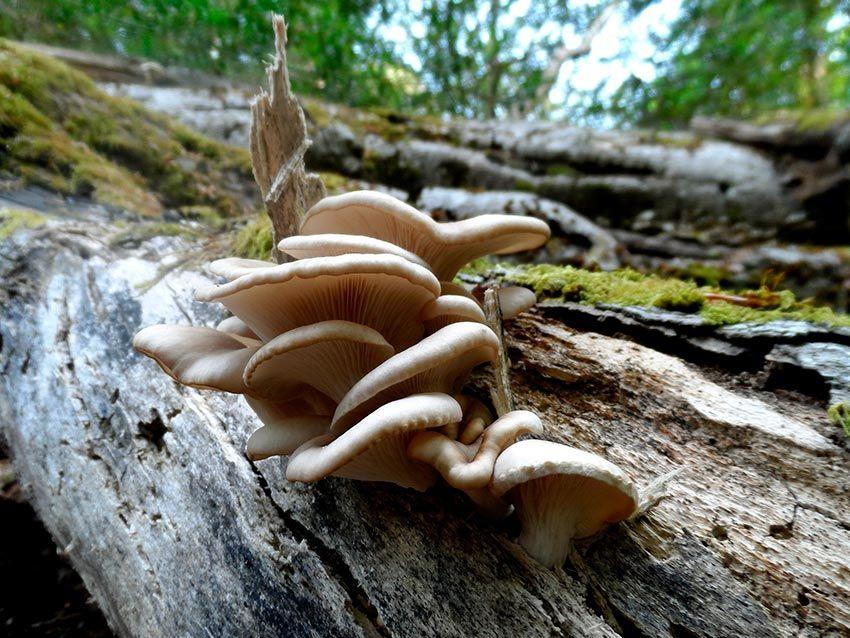 seta de ostra -girgola-orellana-pleurotus-ostreatus-la casa de las setas