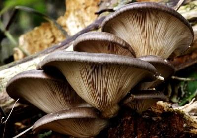 14-seta-de-ostra-pleurotus-ostreatus-lacasadelassetas