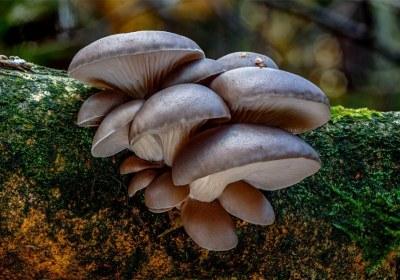 15-seta-de-ostra-pleurotus-ostreatus-lacasadelassetas