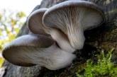 Pleurotus ostreatus, seta de ostra deliciosa y medicinal