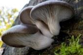 ✅ Pleurotus ostreatus, seta de ostra deliciosa y medicinal