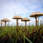 macrolepiota procera-apagallums-parasol-galimperna-la casa de las setas