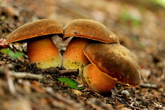 ✅ Boletus erythropus, mata parientes de pie rojo. ¡Delicioso!