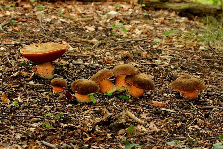 boletus erythropus - pie rojo - mataparientes - la casa de las setas