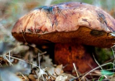 19-boletus-erythropus-pie-rojo-eritropus-la-casa-de-las-setas