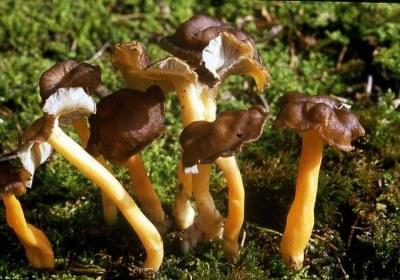 03-cantharellus-lutescens-camagroc-trompeta-amarilla