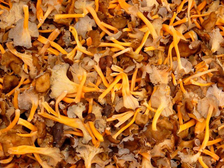 camagroc-cantharellus lutescens-angula de monte-la casa de las setas