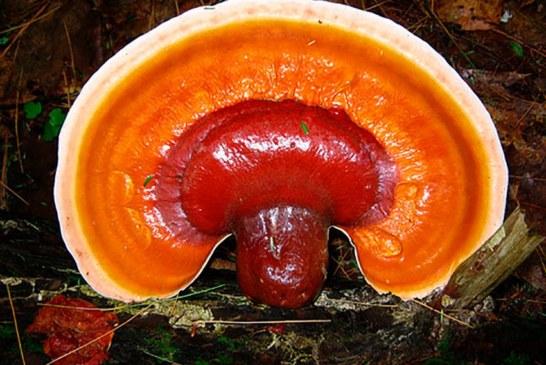 ✅ Reishi, Ganoderma lucidum. El hongo de la inmortalidad
