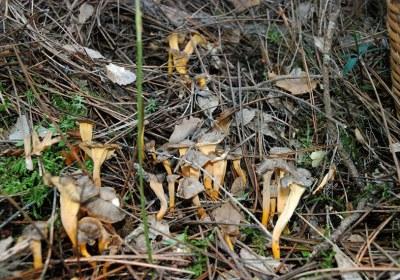 15-cantharellus-lutescens-camagroc-trompeta-amarilla