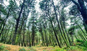 pinos ibericos