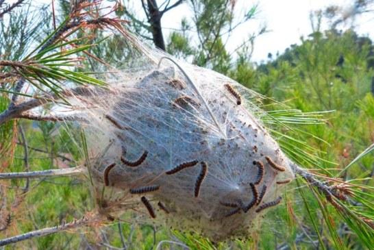 Eficacia del Cordyceps militaris como eco insecticida contra la procesionaria.