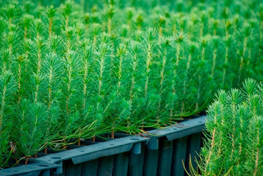 arboles micorrizados - pinos niscaleros - planta micorrizada - la casa de las setas