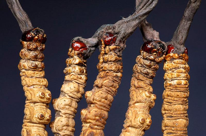 cordyceps sinensis - la casa de las setas