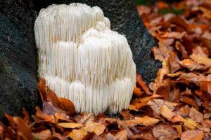 melena de leon - hericium erinaceus - la casa de las setas