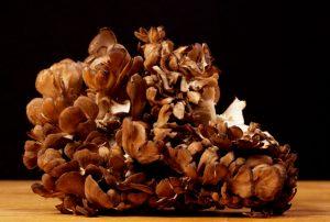 maitake grifola frondosa - la casa de las setas