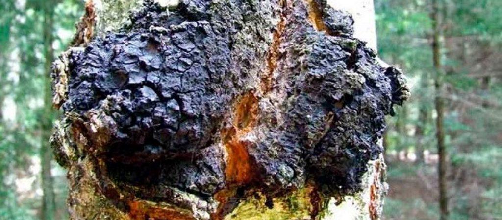 chaga-inonotus obliquus- la casa de las setas