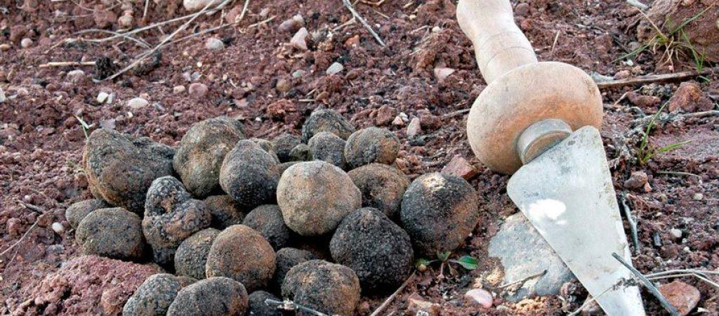 trufa negra - tuber melanosporum - trufa de invierno - la casa de las setas