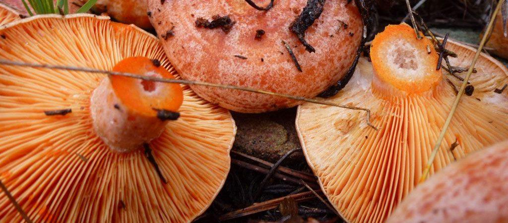 niscalos-rovellons-robellones-lactarius deliciosus - la casa de las setas