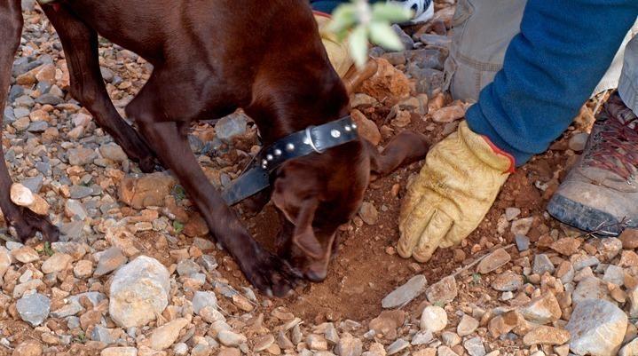 recoleccion de trufa con perro
