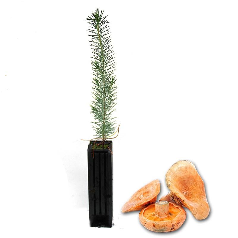 Pinos micorrizados níscalo. Pinus pinea, piñonero 450cc