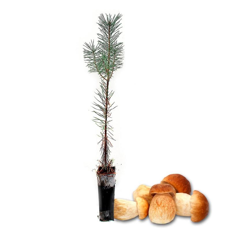 Pinos micorrizados boletus edulis. Pinus silvestris